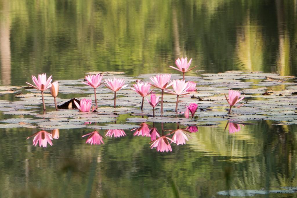 Sein Teich ist wundervoll verziert mit unendlich vielen blühenden Seerosen.