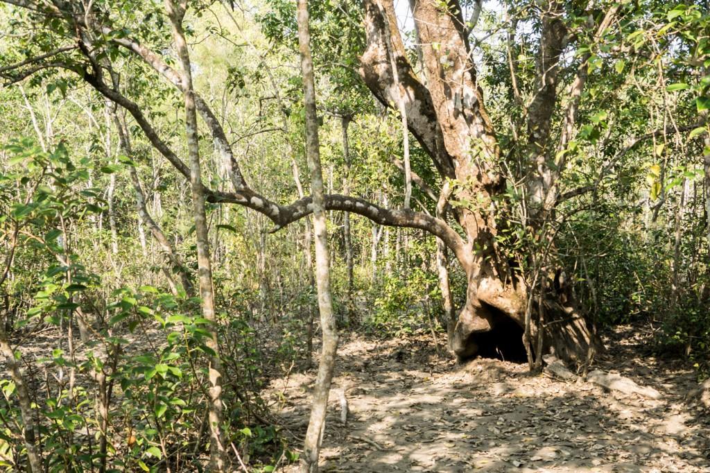 Drüben in dem Baumstamm hat der Tiger im Sommer geworfen. Die Tigerbabys waren bestimmt wahnsinnig süß.