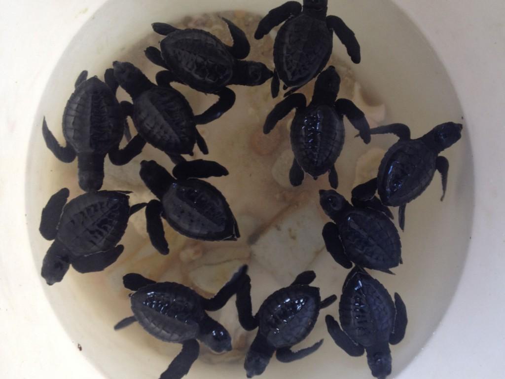 Von der einzigen Familie vor Ort bekommen wir Baby-Schildkröten gezeigt.