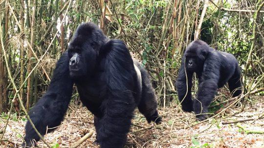 Mister Guhonda und die letzten Gorillas